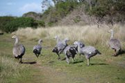 Cape Barren goose family, Phillip Island