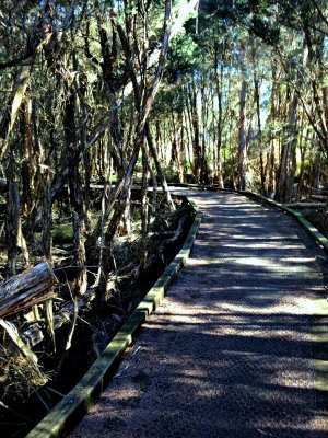 Walk through paperbarks near Rhyll Inlet