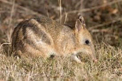 The Eastern Barred Bandicoot has been introduced to Phillip Island, Victoria, Australia
