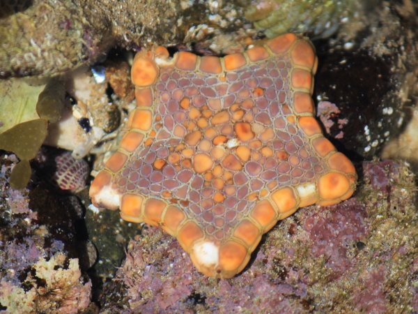 Biscuit star, tide pools, Phillip Island