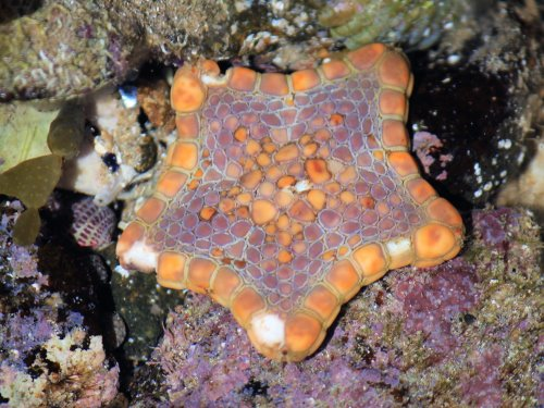 Biscuit sea star in rock pools at Phillip Island