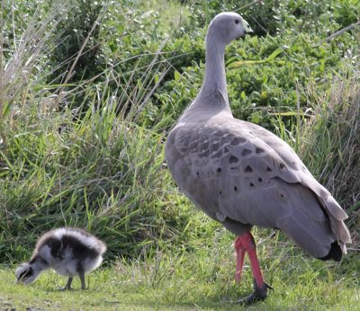 Cape Barren goose with chick near the Penguin Parade visitor centre