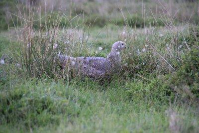 Nesting Cape Barren goose on Phillip Island