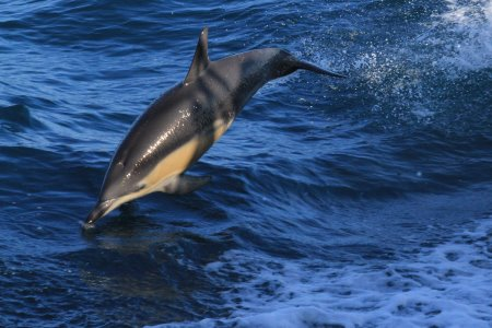 Dolphin at Wilsons Promontory