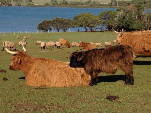 Highland cattle herd