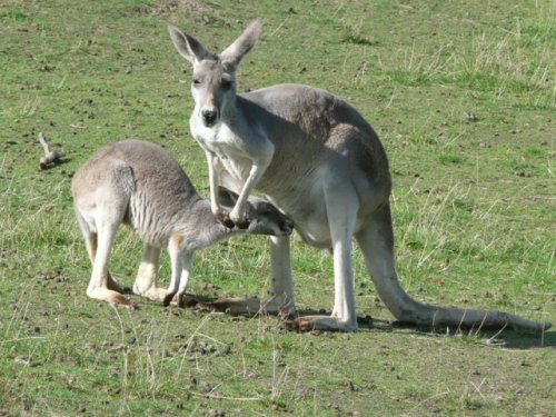 Mother kangaroo with feeding joey