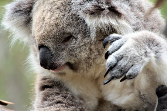 Koala face and claw
