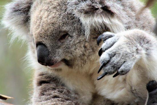 Koala face and claw
