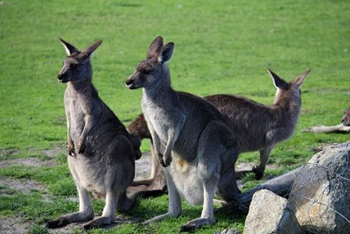 Pat the kangaroos at Maru Animal Park