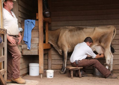 Milking demonstration at Churchill Island Heritage Farm