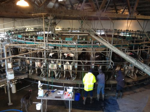 Milking time at Caldermeade Farm