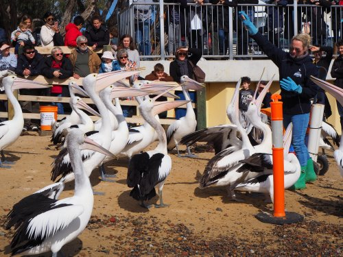 Pelican feeding at San Remo foreshore