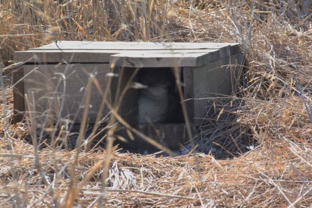 Penguin in nesting box on Phillip Island