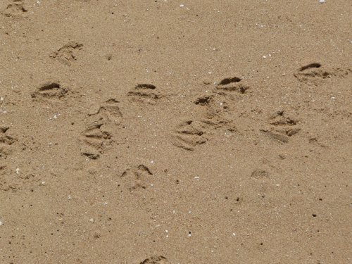 Penguin tracks at Cat Bay, Phillip Island