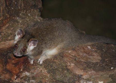 Ring tailed possum