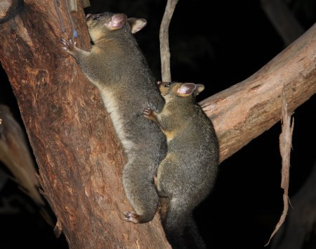 Brush tailed possum with baby