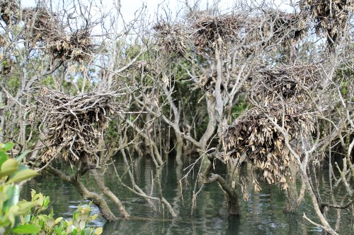 Bird rookery at Rhyll Inlet mangroves