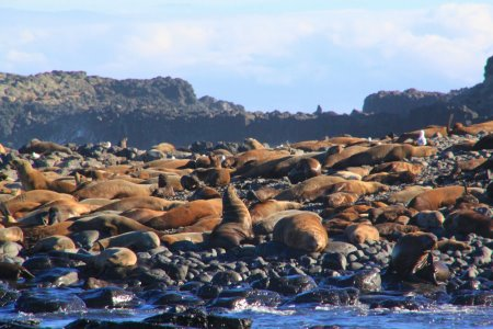 Seals sunning themselves at seal Rocks, Phillip Island