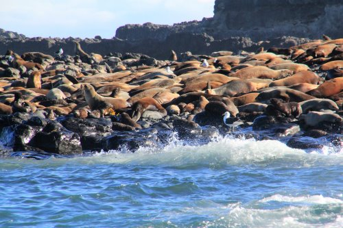 Australian Fur Seals at Seal Rocks