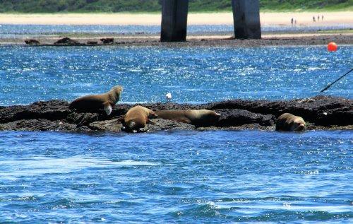 Australian fur seals basking near Newhaven jetty, Phillip Island