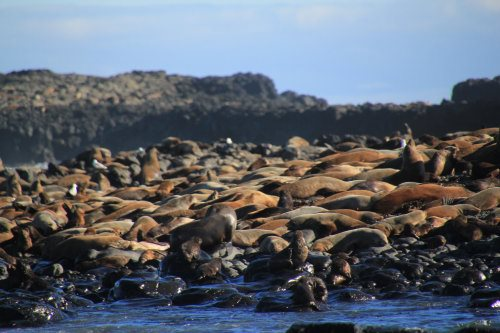 Fur seals at Seal Rocks, Phillip Island