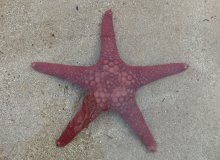 Pink five armed sea star