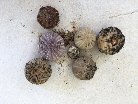 Sea urchins found along the tide line on Phillip Island