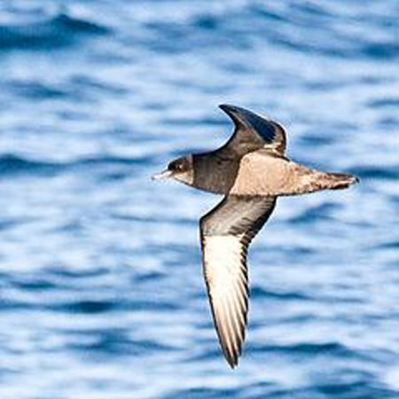 Short-tailed Shearwater in flight