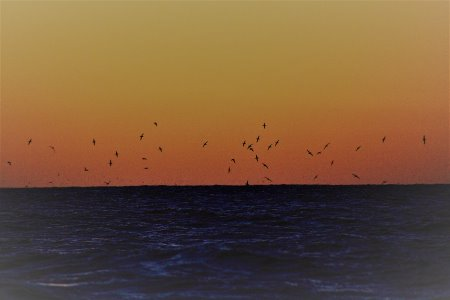 Shearwaters coming home to roost at Cape Woolamai, Phillip Island