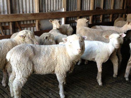 Sheep waiting to be shorn at Warrook Farm