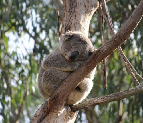 Gorgeous sleeping koala