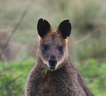 Grazing swamp wallaby