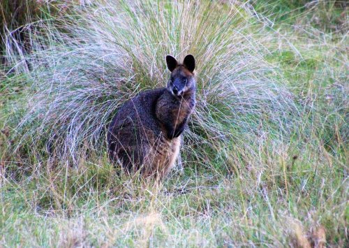 Swamp wallaby on Phillip Island, Australia
