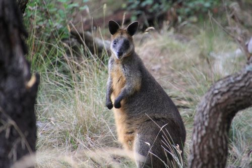 Swamp wallaby at Oswin Roberts Reserve, Phillip Island