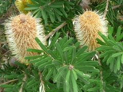 Banksia blossoms