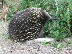 Echidna on Phillip Island