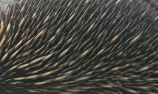 Echidna Spines