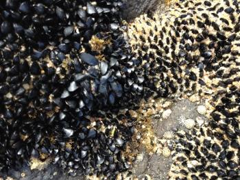 Flea Mussels on Rocks