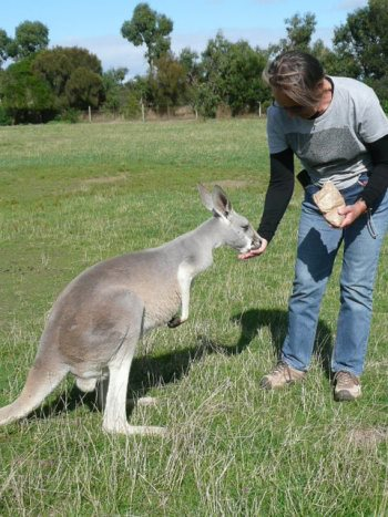 Feeding an Eastern grey kangaroo