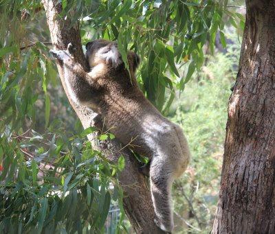 Koala reaching for leaves at Koala Conservation Reserve on Phillip Island