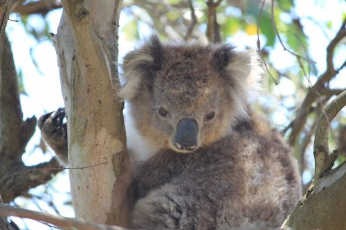 French Island Koala
