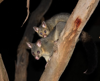 Mother and baby brush tailed possums
