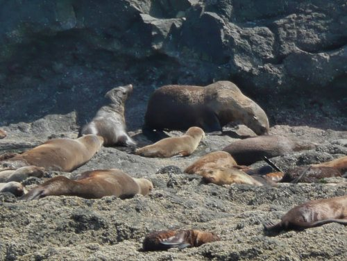 Australian fur seals on Seal Rocks