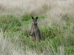 Black (Swamp) Wallaby was hunted for food