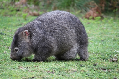 Grazing wombat at Tidal River
