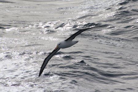 Shy albatross sweeping over the waves off Phillip Island