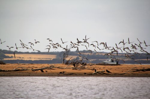 Migratory birds at The Nits, Rhyll Inlet