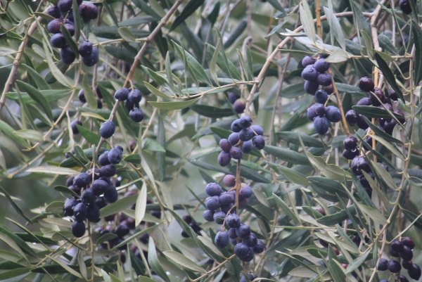 Black olives ready for picking at Kite Haven