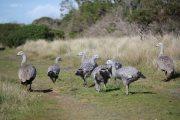 Cape Barren goose family, Phillip Island