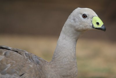 Cape Barren goose with bright bill